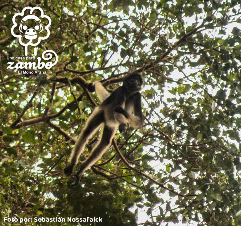 Mono zambo
